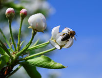 Flowers of a pear with a bee Royalty Free Stock Images