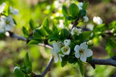 Flowers on pear branches in spring time. Spring season of nature blossom leaf white beautiful beauty blooming floral garden fresh macro petal tree green growth stock photo