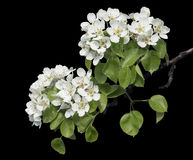 Flowers of pear isolated on black Stock Photo