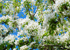 Flowers of a pear Royalty Free Stock Photo