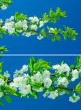 Flowers of pear tree Royalty Free Stock Images