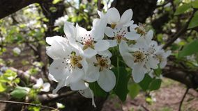 Flowers of pear tree stock photography