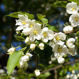 Flowers of pear tree in sunny spring day Stock Image