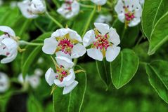 Flowers of pear tree Royalty Free Stock Photos