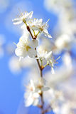 Flowers Pears Stock Images