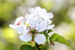 Flowers pears on a green background. Spring sunny day stock photography