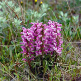 Flowers Pedicularis  in the tundra. Royalty Free Stock Photos