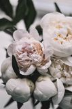 Flowers peonies on the background stock photo