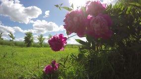 Flowers peony blossoms in wind and sunshine sunbeam. Timelapse 4K. Beautiful summer flowers peony blossoms in wind and sunshine sunbeam. Timelapse 4K stock footage