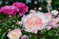 Flowers of peony Royalty Free Stock Photography