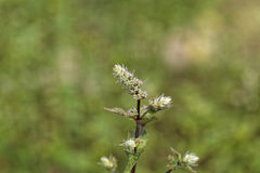 Flowers of a peppermint plant, Mentha x piperita Stock Image