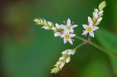 Flowers of Perennnial buckwheat Royalty Free Stock Photos
