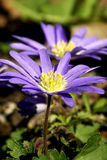 Flowers - Periwinkle Colored Windflower Royalty Free Stock Photos