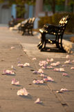 Flowers petals on the alley ground. In the evening sunlight. Park benches in a background stock photography