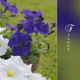 Flowers petunia on the garden Royalty Free Stock Photo