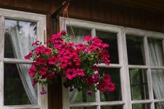 Flowers petunia in hang basket close up photo Royalty Free Stock Photos