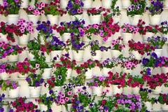 Flowers petunia Stock Photo