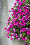 Flowers petunias. On the gray wall Royalty Free Stock Image