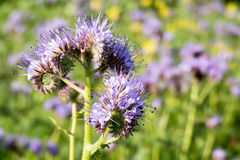 Flowers of Phacelia. Stock Photos