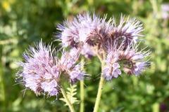 Flowers of Phacelia. Stock Photo