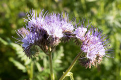 Flowers of Phacelia. Royalty Free Stock Images