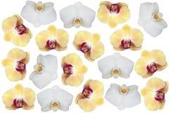 Flowers phalaenopsis Stock Image