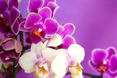 Flowers Phalaenopsis orchids . Royalty Free Stock Photos