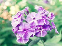 Flowers of phlox Stock Images