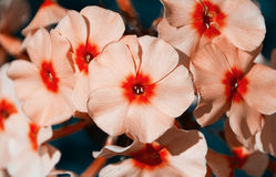 The flowers of Phlox closeup Stock Images