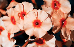 The flowers of Phlox closeup. Stock Photos