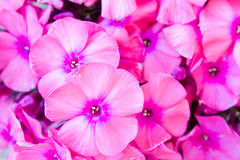 Flowers phlox Royalty Free Stock Images