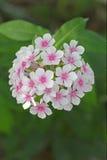 Flowers phlox, Latin Phlox paniculata Stock Images