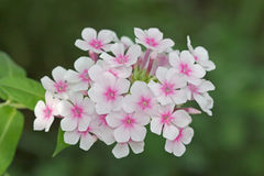 Flowers phlox, Latin Phlox paniculata Stock Photography