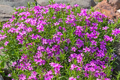 Flowers phlox styloid Royalty Free Stock Image