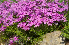 Flowers Phlox subulate in the garden Stock Photography