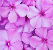 Flowers phlox Stock Image