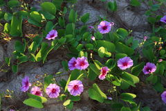 Flowers, Phra Ae Beach, Ko Lanta, Thailand Royalty Free Stock Photos
