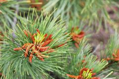 Flowers on a pine branch, blooming pine royalty free stock image