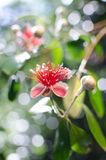 Flowers of Pineapple Guava. Beautiful flower fruit , tropical guava tree Royalty Free Stock Photo