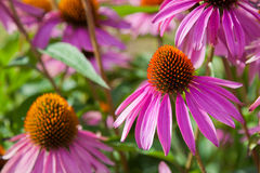 Flowers pink. This is image of flowers pink Royalty Free Stock Photography