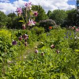Flowers of pink aquilegia on the background of a blooming park royalty free stock photos