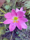 The flowers. Pink beautiful nature  yellow Royalty Free Stock Photos