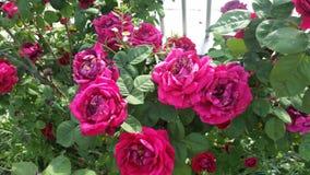 Flowers. Pink beautiful Roses Stock Photos