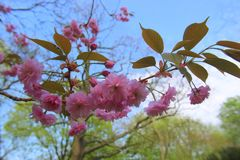 Flowers of a pink blossom sakura on background blue sky. Flowers beautiful pink blossom hanging on a twig in the blue sky close-up foto Royalty Free Stock Photo