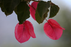 Flowers pink bougainvillea Stock Image