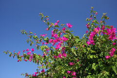 Flowers pink bougainvillea Royalty Free Stock Images