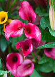 Flowers - pink calla lily Royalty Free Stock Photo
