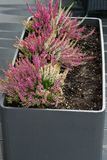 Flowers of pink Calluna vulgaris in pot stock photo