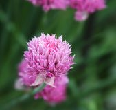 Pink clover in the field. Flowers of pink clover in the field royalty free stock photo