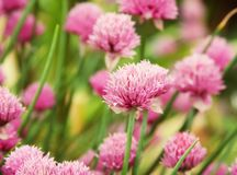 Flowers of pink clover in the field summer day. Flowers of pink  clover in the field royalty free stock photo